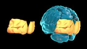 BRAIN-Occipital lobe 3D part