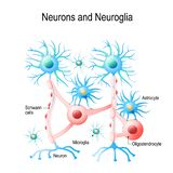 Neurons and neuroglial cells. royalty free illustration