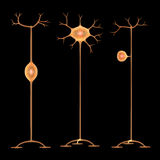 Neurons Royalty Free Stock Photo