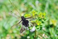 Neuroptera Ascalaphidae 库存图片