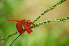 Neurothemis fluctuans, red dragonfly Royalty Free Stock Images