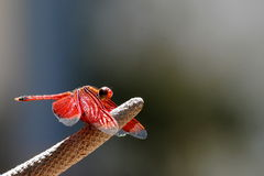 Neurothemis Terminata Crimson Red Dragonfly royalty free stock photos
