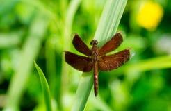 Neurothemis-terminata Libelle auf einem grünen Gras lizenzfreie stockbilder