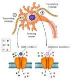 Neurotransmisores implicados en epilepsia Foto de archivo