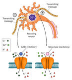 Neurotransmitters involved in Epilepsy. Diagram of a nerve cell and the connections of other nerves to it, showing detail of neurotransmitter and receptor action Stock Photo