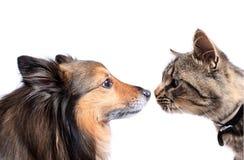 Neus aan neus kat en hond Royalty-vrije Stock Fotografie
