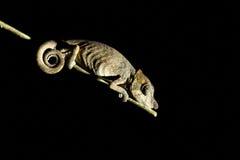 Neus-gehoornd Kameleon bij nacht Stock Foto