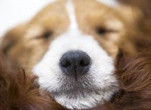 Neus van een leuk de hondpuppy van Russell van de slaaphefboom Stock Afbeeldingen