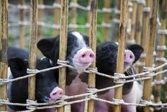 Neus van zwart-wit babyvarken stock foto's