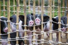 Neus van zwart-wit babyvarken royalty-vrije stock afbeelding