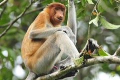 Neusaap, macaco de probóscide, larvatus do Nasalis imagem de stock