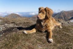 Neuschottland-Apportierhund stockfoto