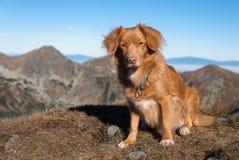 Neuschottland-Apportierhund in den Bergen stockfoto