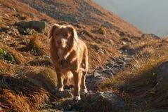 Neuschottland-Apportierhund an der Abendleuchte stockbild