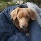 Neuschottland-Apportierhund im Schlafsack stockfotografie