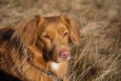 Neuschottland-Apportierhundportrait stockfoto