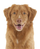 Neuschottland-Ente-läutender Apportierhund Stockfotos