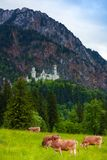 Neuschwanstein castle and cows Royalty Free Stock Photo