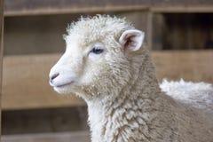 Neuseeland - eine schüchterne Lampe Lizenzfreie Stockfotos
