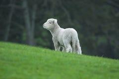 Neuseeland - eine schüchterne Lampe stockfotografie