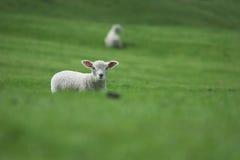 Neuseeland - eine schüchterne Lampe Lizenzfreies Stockbild