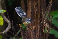 Neuseeland-Fantailvogel auf einem Baum in Coromandel stockfotografie