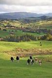 Neuseeland-Kühe Lizenzfreie Stockfotos