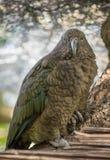 Neuseeland Kea stockfotografie