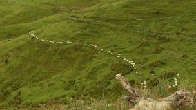 Neuseeland-Landschaft - Landschaft mit der Herde von Schafen, Schafe, die langsam in Richtung zu, hinunter den Hügel gehen stock video footage