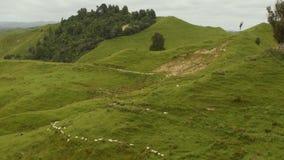 Neuseeland-Landschaft - Landschaft mit der Herde von Schafen, Schafe, die langsam in Richtung zu, hinunter den Hügel gehen stock video