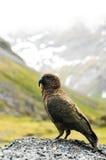 Neuseeland-Papagei Lizenzfreie Stockfotografie