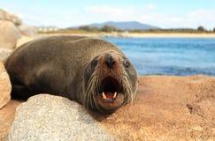 Neuseeland-Pelz-Dichtung - nahes hohes Stockfotos