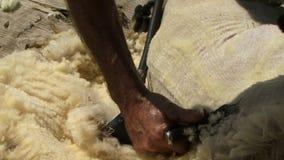 Neuseeland-Schafe, die geschoren werden