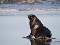 Neuseeland-Seelöwe lizenzfreie stockbilder