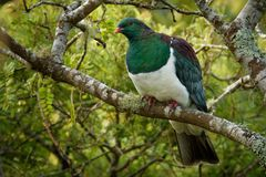 Neuseeland-Taube - Hemiphaga-novaeseelandiae - kereru, das in den Baum in Neuseeland sitzt und einzieht stockfoto