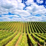 Neuseeland-Weinberg Lizenzfreies Stockfoto