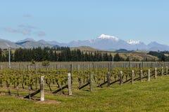 Neuseeland-Weinberg im Vorfrühling Lizenzfreie Stockfotos