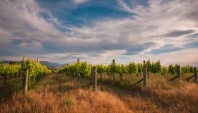 Neuseeland-Weinberg nahe Blenheim unter einem drastischen Himmel Stockfotografie