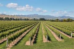 Neuseeland-Weinberge in der Sommerzeit Stockfotografie
