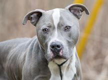 Neutered male blue and white American Pitbull Terrier royalty free stock image