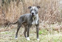 Neutered male blue and white American Pitbull Terrier stock photos