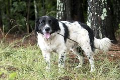 Setter Spaniel mixed breed dog outdoors on leash panting tongue. Neutered male fluffy black and white English Setter, Brittany Spaniel and or Border Collie mixed Stock Photo