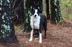 Black and white mixed breed terrier puppy dog. Neutered male young Black and white mixed breed terrier puppy dog on leash outdoors in pine tree woods. Pet Stock Photo