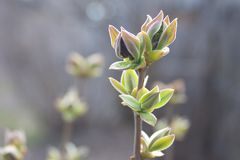 Neutral background of swollen lilac buds in a sunny day. stock photos