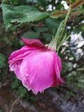 Neutral. Rose garden beautiful pink rose royalty free stock photo