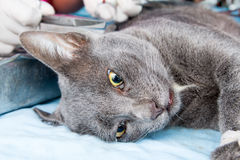Neutralizar el gato en día de la rabia del mundo Imágenes de archivo libres de regalías