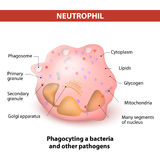 Neutrophil granulocytes Royalty Free Stock Photo