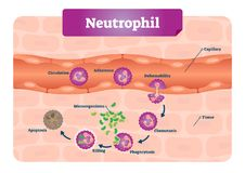 Neutrophil vector illustration. Educational scheme with labeled capillary, circulation, adherence, deformability, and phagocytosis. Neutrophil vector stock illustration