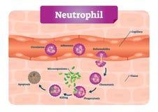 Neutrophilvektorillustration Bildande intrig med den märkta kapilläret, cirkulation, fasthållande, deformability och phagocytosis stock illustrationer