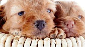 Neuzen van twee puppy in een mand Stock Afbeelding